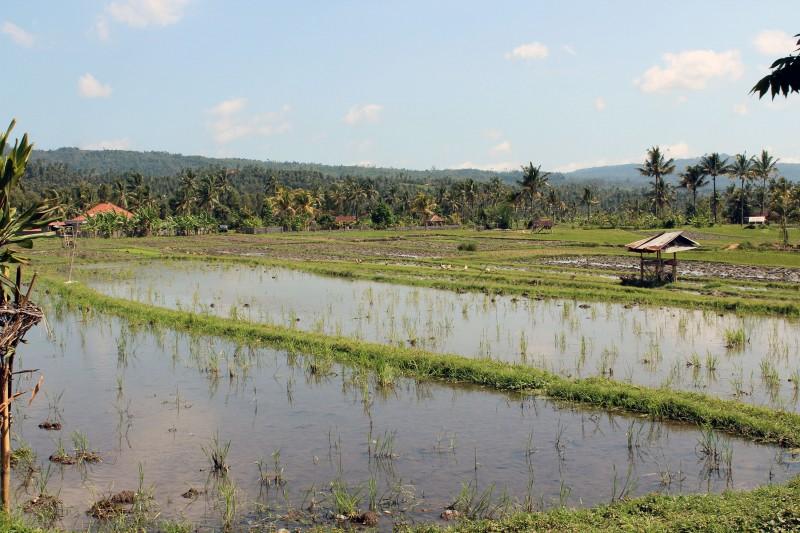 Lovina rizieres