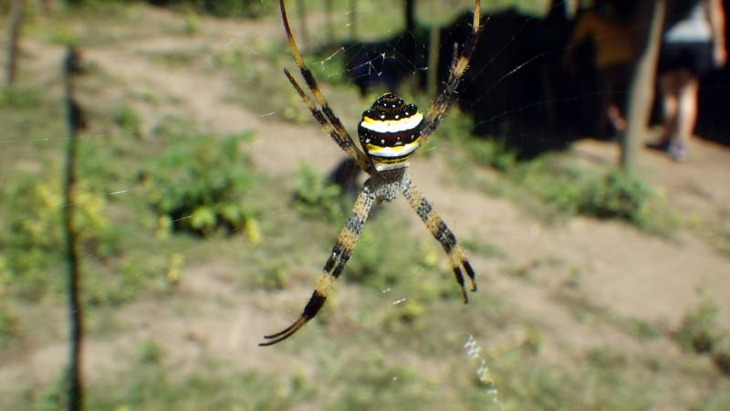 Araignée trek en Thailande