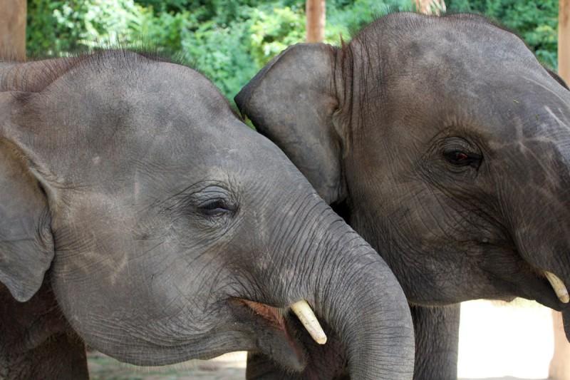 Thai elephant center