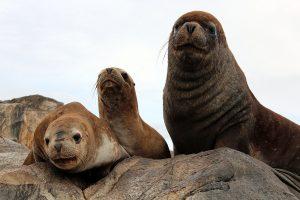 Patagonie lions de mer