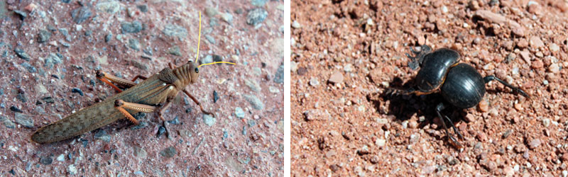 Talampaya sauterelle et scarabée