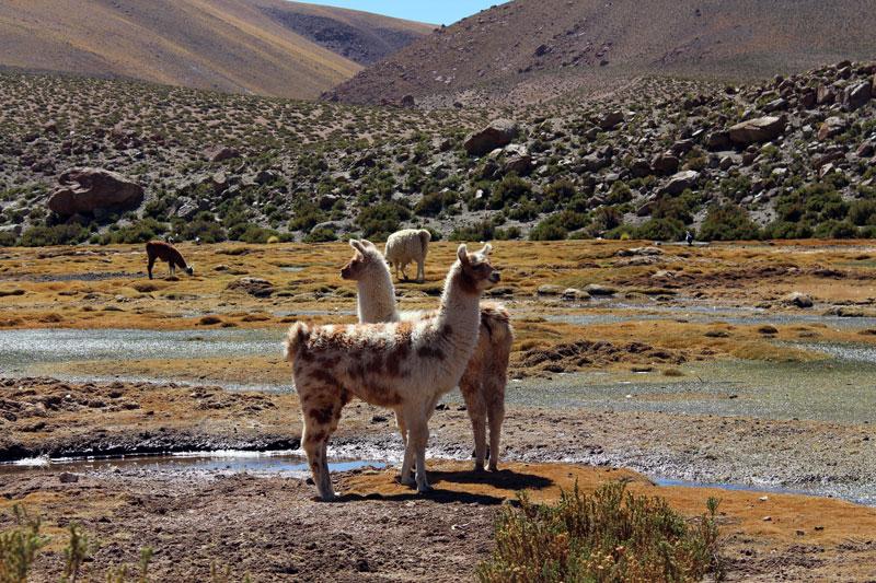 Lama San Pedro Atacama