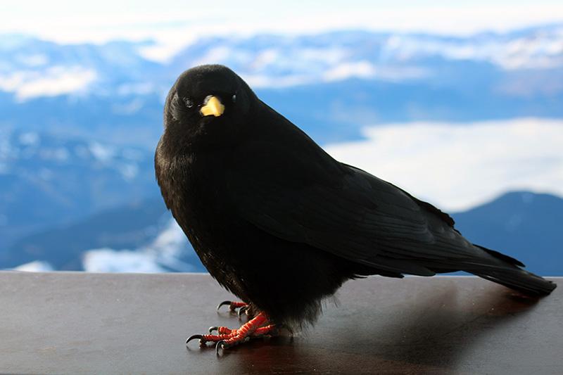 Oiseau Aiguille du Midi